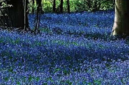 A blanket of scilla for bees